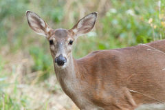 Whitetailed Doe in Woods Stock Image
