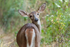 Whitetailed Doe in Woods Royalty Free Stock Images