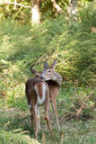 Whitetailed Doe in Woods Royalty Free Stock Image