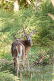 Whitetailed Doe in Woods Royalty Free Stock Photography