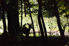 Whitetailed Fawn Silhouetee Photos stock