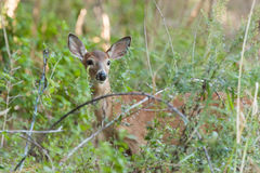 Whitetailed Female Fawn Royalty Free Stock Images