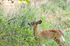 Whitetailed Female Fawn royalty free stock photography
