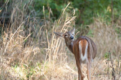 Whitetailed Female Fawn Stock Photography
