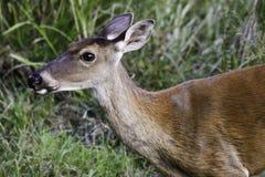 whitetailed jelenia królica zdjęcia royalty free