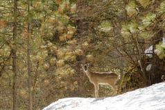 Whitetailen lismar Fotografering för Bildbyråer