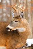 Whitetailherten Buck Antlers royalty-vrije stock foto's