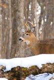 Whitetailherten Buck Antlers stock afbeeldingen