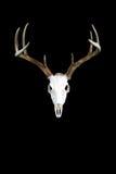 Whitetailherten Buck Antlers en Schedel stock afbeeldingen