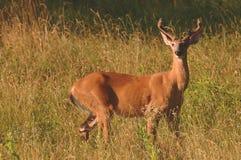 Whitetailherten Buck Velvet stock foto