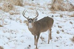 Whitetailhjortar Buck In Winter Fotografering för Bildbyråer