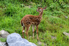 Whitetailhjortar Fawn Licking Nose Arkivfoton