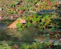 Whitetailhjortar Fawn In Water Arkivfoton
