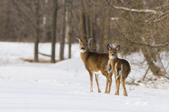Whitetailhjortar i vinter Arkivbilder