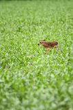 Whitetailhjortar lismar Arkivfoton