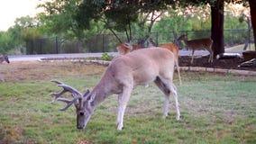 Whitetailhjortar som äter havre ut ur en gård i det Texas kullelandet stock video