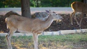 Whitetailhjortar som äter havre ut ur en gård i det Texas kullelandet arkivfilmer