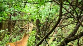 Whitetailhjortar sparkar bakut i sammet arkivfilmer