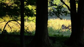 Whitetailhjortar sparkar bakut i sammet lager videofilmer