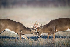 Whitetailrotwildkämpfen Stockbild