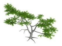Whitethorn_acacia_(Acacia_constricta) Stock Image