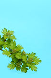 Whitethorn branch with spring blooms. Leaves on blue backround. Growth concept Stock Image