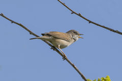 Whitethroat Bird Singing Royalty Free Stock Photo