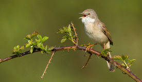 Whitethroat on a branch stock images