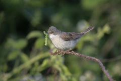 Whitethroat commun, Sylvia communis Image stock