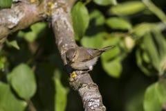 Whitethroat comum (Sylvia communis) Imagem de Stock