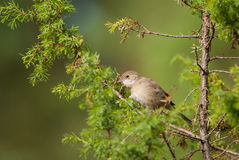 Whitethroat in green Royalty Free Stock Photos