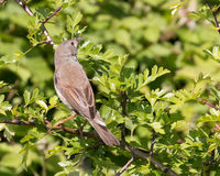Whitethroat. Perched on a branch with spider in his beak and green leafs in the background Stock Photos