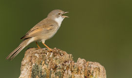 Whitethroat on a pole Royalty Free Stock Images
