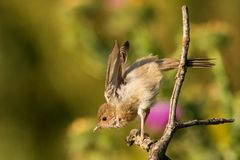 Whitethroat sits on a stick on a beautiful background Royalty Free Stock Photography