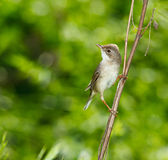 Whitethroat, Sylvia communis Stock Photo