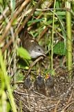 Whitethroat, Sylvia communis Stock Photos