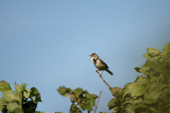 Whitethroat, Sylvia Communis Stock Image