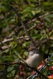 Whitethroat (Sylvia communis) Stock Image