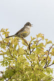 Whitethroat (Sylvia communis) Royalty Free Stock Photo