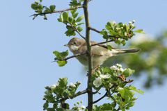 A stunning Whitethroat Sylvia communis perching on a flowering Hawthorn tree Crataegus monogyna in spring. A Whitethroat Sylvia communis perching on a flowering Stock Images