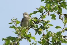 A stunning Whitethroat Sylvia communis perching on a flowering Hawthorn tree Crataegus monogyna in spring. A Whitethroat Sylvia communis perching on a flowering Royalty Free Stock Photography