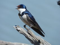 Whitethroateed  swallow. This swallow  was  photographed   at  Pilanesberg National  park.  It  is  a  common  resident using  man  made  structures  to  make Stock Image