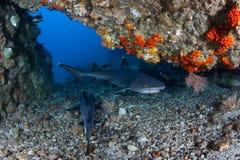 Whitetip在洞的礁石鲨鱼 库存图片