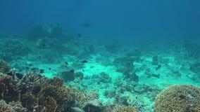 Whitetip在珊瑚礁的礁石鲨鱼 4K 股票视频