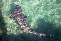 Whitetip礁石鲨鱼(加拉帕戈斯,厄瓜多尔) 免版税库存图片