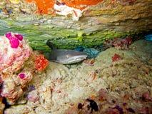 Whitetip礁石鲨鱼 免版税图库摄影