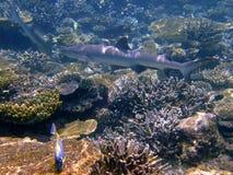 whitetip акулы рифа Мальдивов Стоковая Фотография RF