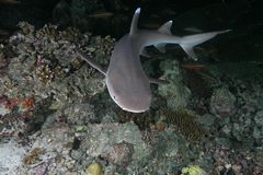 whitetip акулы рифа Стоковые Фотографии RF