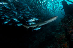 whitetip акулы Стоковые Фотографии RF