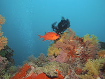 whitetip för akvariumkorallsoldierfish Arkivbild
